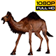 Camel 6