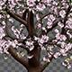 Growing Sakura Tree