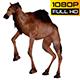 Camel 11