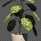 Growing Dieffenbachia Flower