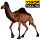 Camel 12
