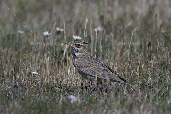 Crested lark (Galerida cristata) - Stock Photo - Images