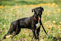 American Staffordshire Terrier Puppy Dog Standing Outdoor In Gre