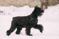 Funny Young Black Giant Schnauzer Or Riesenschnauzer Dog Walking