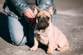 Red Funny Lovely French Bulldog Dog In Park Outdoor