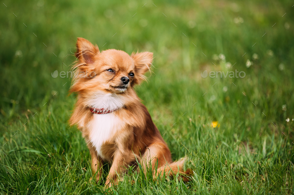 Beautiful Funny Young Red Brown And White  Tiny Chihuahua Dog Si - Stock Photo - Images