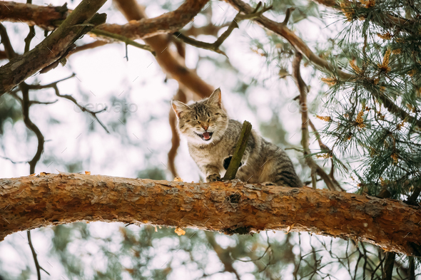 Screaming Meowing Adult Cat On A Pine Tree Branch At Spring Seas - Stock Photo - Images