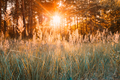 Sunset Or Sunrise In Autumn Forest. Sun Shining With Sun Rays Th - PhotoDune Item for Sale