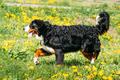 Bernese Mountain Dog Berner Sennenhund Play Outdoor In Green Spr