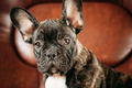 Potrait Of Young Black French Bulldog Dog Puppy With White Spot