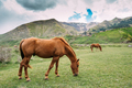 Horse Eating Grass In Spring Pasture. Horse Grazing On A Green M