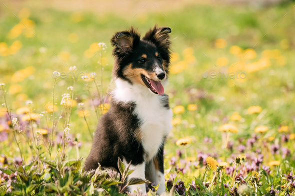 Young Happy Smiling Shetland Sheepdog Sheltie Puppy Playing Outd - Stock Photo - Images