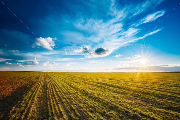 Green Barley Field, Early Spring. Agricultural Background. - Stock Photo - Images