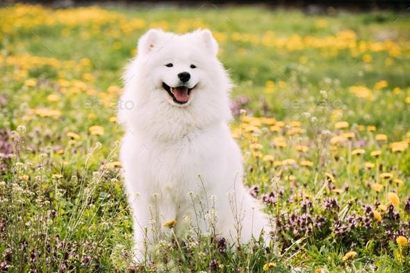 Young Happy Smiling White Samoyed Dog Or Bjelkier, Smiley, Sammy - Stock Photo - Images