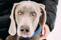 Close Portrait Of Beautiful Weimaraner Dog. The Weimaraner Is An