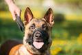 Close Up Of Malinois Dog With Muzzle. Belgian Shepherd Dog Portr