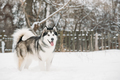 Alaskan Malamute Playing Outdoor In Snow, Winter Season. Playful