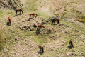 Horses Grazing On Green Mountain Slope In Spring In Mountains Of