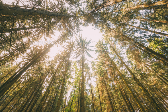 Autumn Pine Coniferous Forest Trees Woods To Canopy. Bottom View - Stock Photo - Images