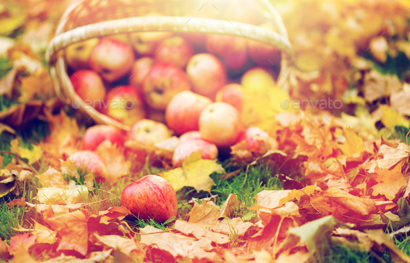 wicker basket of ripe red apples at autumn garden - Stock Photo - Images