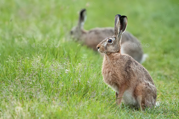 Hare in the wild - Stock Photo - Images