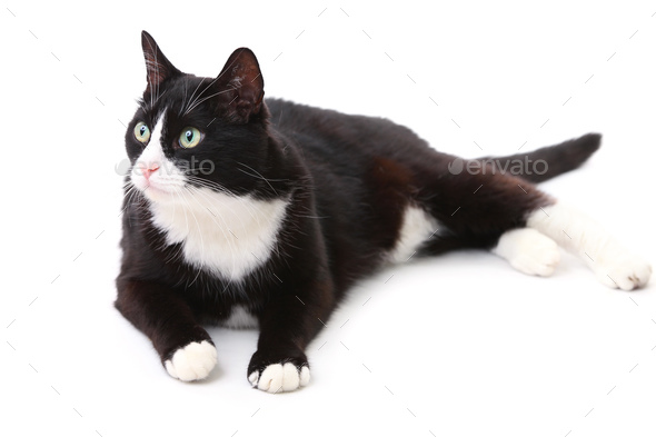 Beautiful black and white cat over white background - Stock Photo - Images