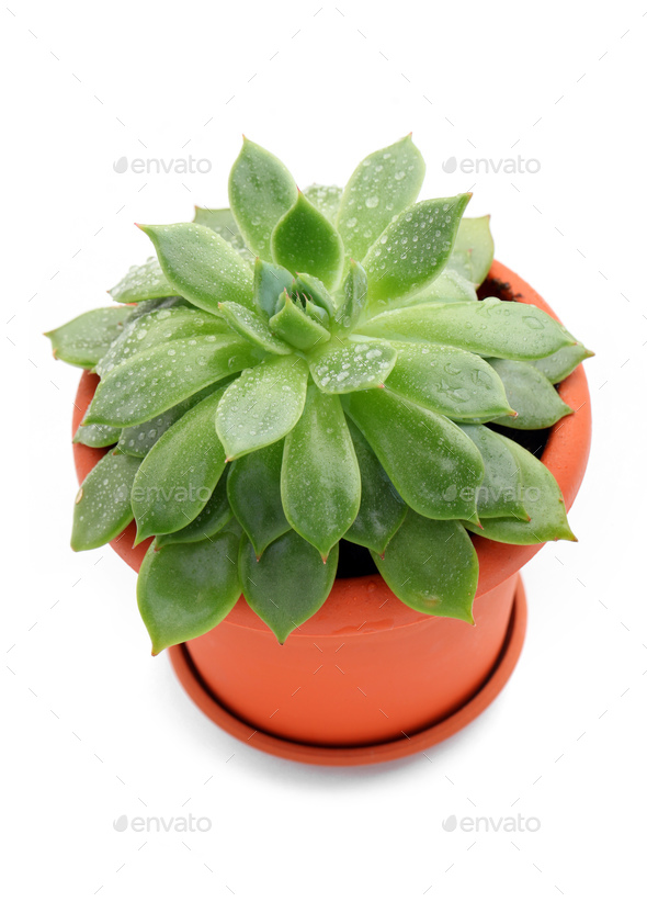 Sempervivum plant in a pot over white background - Stock Photo - Images
