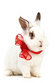 White fancy rabbit with a bow over white