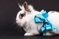 White fancy rabbit with a ribbon over black background