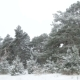 First Snow in the Forest, Pine Trees Covered in Snow - VideoHive Item for Sale