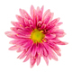 Macro of an isolated pink aster flower blossom - PhotoDune Item for Sale