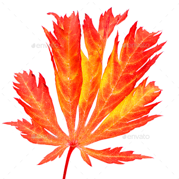 Isolated red leaf of a japanese maple tree - Stock Photo - Images
