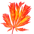 Isolated red leaf of a japanese maple tree - PhotoDune Item for Sale