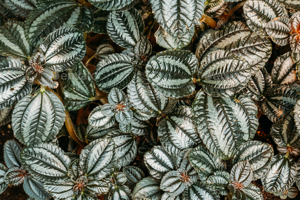 Green Leaves Of Plant Pilea Involucrata, Commonly Called The Fri - Stock Photo - Images