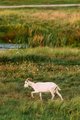 Goat Walking In Green Summer Grass On A Sunny Evening. Goat Eati