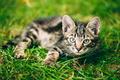 Playful Cute Tabby Gray Cat Kitten Pussycat Sitting In Grass Out