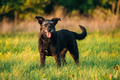 Small Size Black Dog In Summer Sunset Sunrise Meadow, Field
