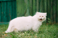 Cute Funny White Persian Cat Kitten With Yellow Eyes Yawning In