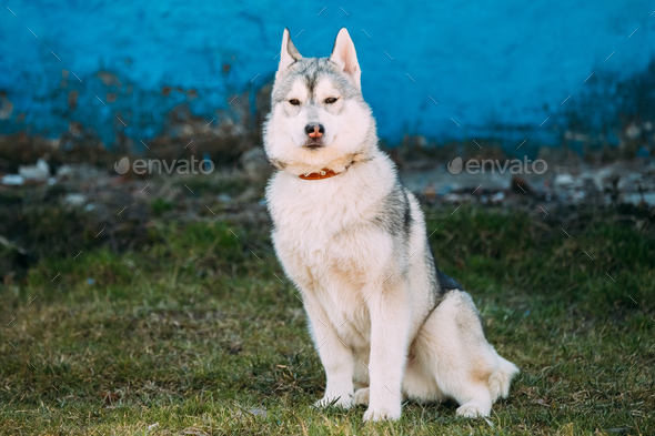 Young Funny Gray Husky Puppy Dog Outdoor - Stock Photo - Images