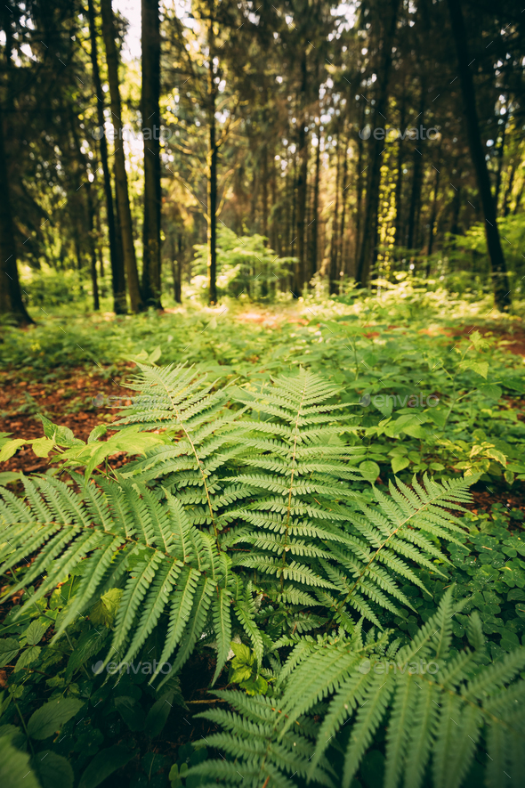 Ferns Leaves Green Foliage In Summer Coniferous Forest. Green Fe - Stock Photo - Images