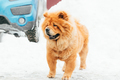 Chow Chow Dog Standing In Snow At Winter Day
