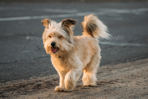 Funny Red Small Size Mixed Breed Dog Walking Outdoor On Road - Stock Photo - Images