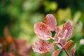Fresh Water Drops On Red Leaves Of Wild Plant Bush At Autumn Sea