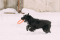 Black Giant Schnauzer Or Riesenschnauzer Dog Playing With Ring O