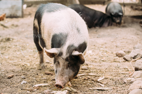 Household Pig In Farm. Pig Farming Is Raising And Breeding Of Do - Stock Photo - Images