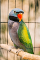 Lord Derby's Parakeet Or Psittacula Derbiana, Also Known As Derb