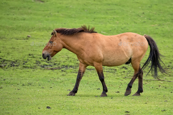 Przewalski's horse on the run  - Stock Photo - Images