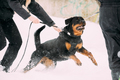 Training Of Rottweiler Metzgerhund Adult Dog. Attack And Defence