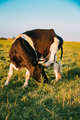 Cow Scratches Its Head With A Hoof In Spring Pasture. Cow Grazin