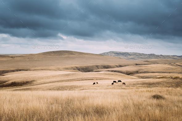 Kakheti Region, Georgia. Cows Eating Grass In Autumn Pasture. Co - Stock Photo - Images